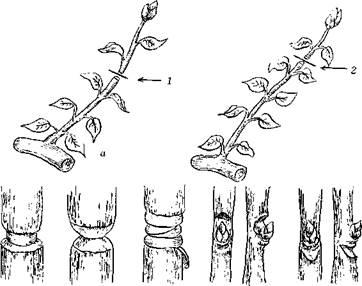 Рис. Приемы обрезки: а – прищипка (пинцировка) побегов: 1 – первая; 2 – повторная; б – кольцевание: 1 – удаление полоски коры шириной около 1 см; 2 – треугольный вырез коры шириной около 0,5 см; 3 – обвязка раны пленкой; в – кербовка: 1 – над почкой; 2 – под почкой