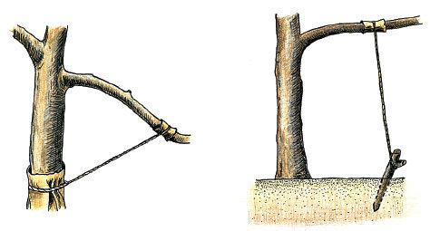 Метод ускорения плодоношения - отгибание ветки