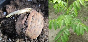 Размножение семенами грецкого ореха