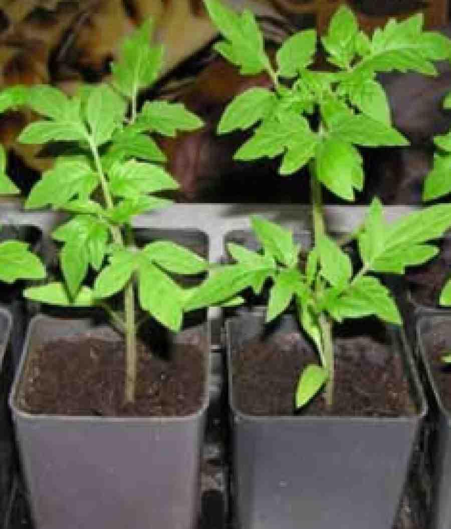 срок выращивания рассады помидор