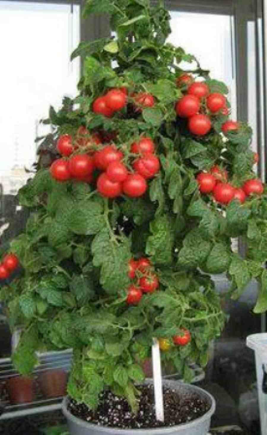 помидоры на подоконнике сорта