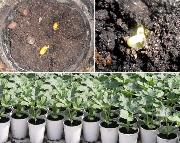 как посадить рассаду арбузов и дынь