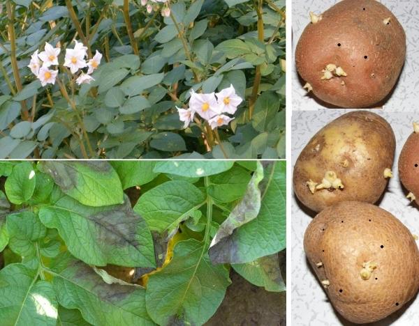 фитофтора картофеля методы борьбы